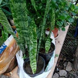 Комнатные растения - Блэк коралл сансевиерия, 0