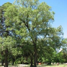 Рассада, саженцы, кустарники, деревья - Вяз, 0