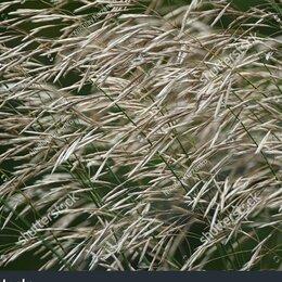 Семена - Семена Кострец безостый Сорта: безенчукский, 0