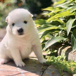 Собаки - Самоедская лайка, 0