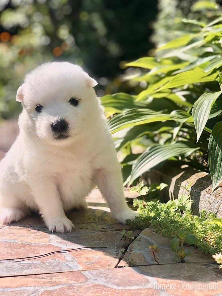 Самоедская лайка по цене 15000₽ - Собаки, фото 0
