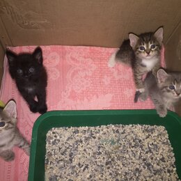 Кошки - Котята  в добрые руки. Родились 15 августа , приучены к лотку , умные., 0