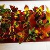 Колеус wildstreak по цене 100₽ - Рассада, саженцы, кустарники, деревья, фото 1