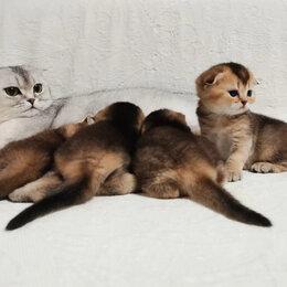 Кошки - Шотландская вислоухая окрас золотая шиншилла , 0