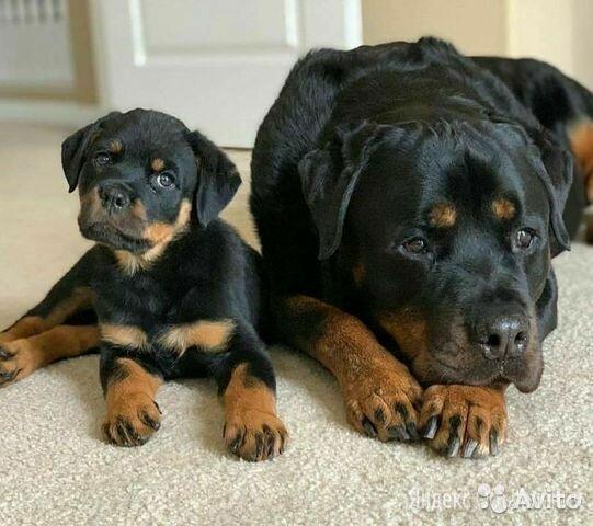ротвейлер  по цене 12000₽ - Собаки, фото 0