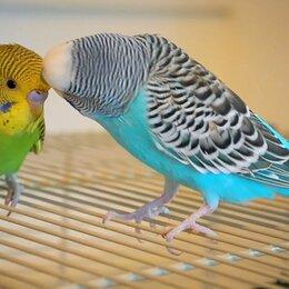 Птицы - Волнистый попугайчик  , 0