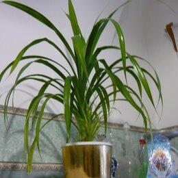 Комнатные растения - Ложная пальма панданус, 0