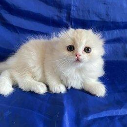 Кошки - Шотландская вислоухая , 0