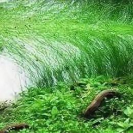 Растения для аквариумов и террариумов - Элеохарис живородящий (Eleocharis vivipara), 0
