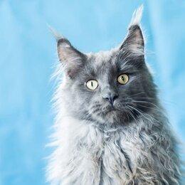 Кошки - Мейн-кун Vinsent Mariburg, 0