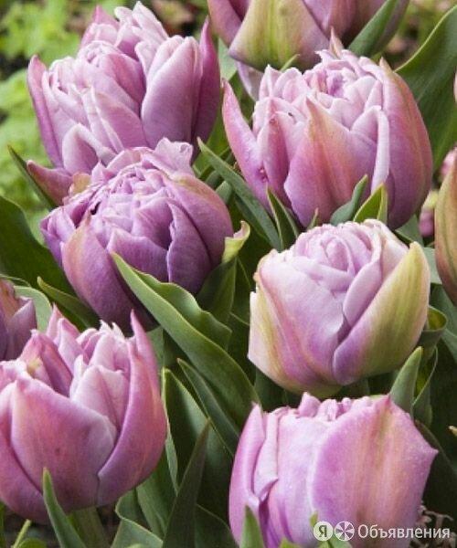 Тюльпан Катинка махр.ранн.. 1шт. по цене 57₽ - Спецтехника и навесное оборудование, фото 0