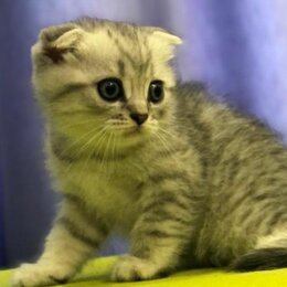 Кошки - Шотландская вислоухая скотишфолд котята, 0