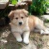 Рыжая девочка по цене даром - Собаки, фото 0