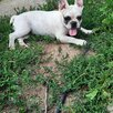 Щенки Французского бульдога по цене 15000₽ - Собаки, фото 0