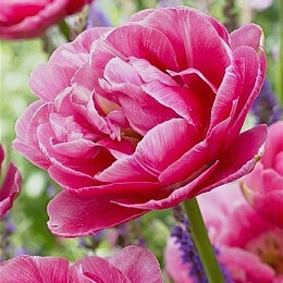 Луковичные растения - Тюльпан махровый поздний Авейрон , 0