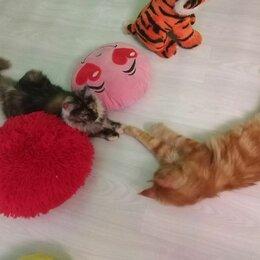 Кошки - Котята Мейн-кун с документами, 0