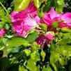 Неукрывная чайная роза розового и красного цвета по цене 349₽ - Рассада, саженцы, кустарники, деревья, фото 2