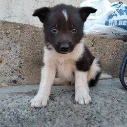 Собаки - Щенок кобелек, 0