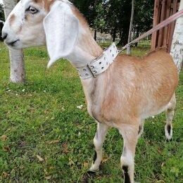 Сельскохозяйственные животные и птицы - Продам козликов Нубийских , 0