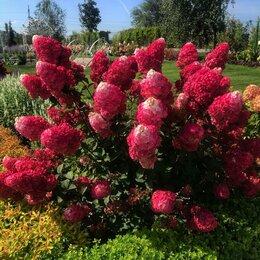 Рассада, саженцы, кустарники, деревья - Гортензия метельчатая Самарская Лидия, 0