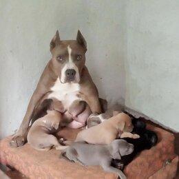 Собаки - Щенки Стаффордширского терьера, 0