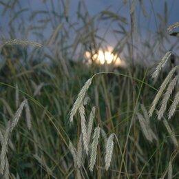 Семена - Продам семена озимая рожь - сорт СИБИРЬ, 0