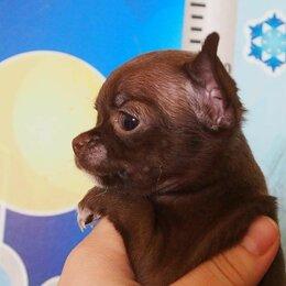 Собаки - Чихуахуа темный шоколад с подпалом, 0