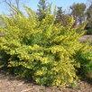 Саженцы Смородина золотистая  по цене 450₽ - Рассада, саженцы, кустарники, деревья, фото 2