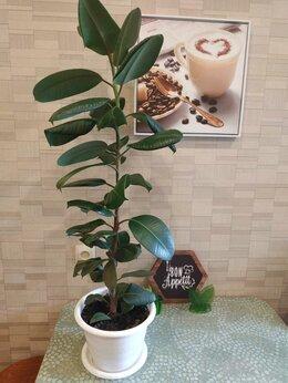 Комнатные растения - Фикус 115см, 0