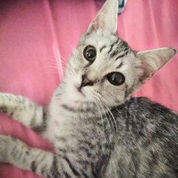 Кошки - Артурчик 3,5 мес вискасно серебристого окраса ищет, 0