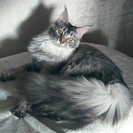 Кошки - Кошка мейн кун , 0