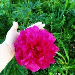 Цветы, букеты, композиции - Пион Бенджамин Франклин, 0