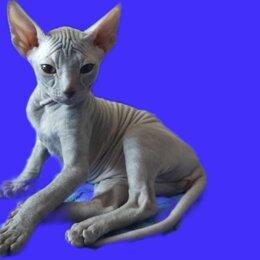 Кошки - Донской сфинкс серый котенок, 0