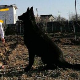 Услуги для животных - Вязка, кобель немецкая овчарка, черного окраса, 0