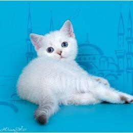 Кошки - Шотландский котёнок , 0