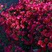 Астра Роял Руби многолетняя новобельгийская по цене 250₽ - Рассада, саженцы, кустарники, деревья, фото 0
