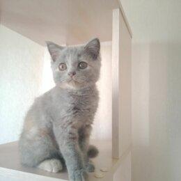 Кошки - Британская трёхцветная девочка, 0