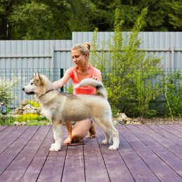 Собаки - Щенок Аляскинский маламут, 0