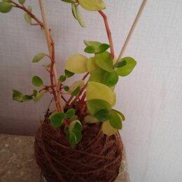 Комнатные растения - Кокебана из пеперомий, 0