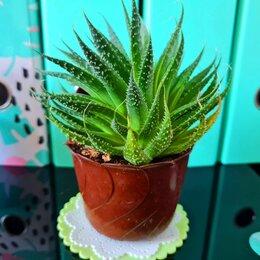 Комнатные растения - КАКТУС 10 см, 0