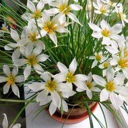 Комнатные растения - Продам Зефирантес, 0