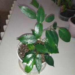 Комнатные растения - Фикус Бенджамин, 0