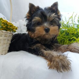 Собаки - Йоркширский терьер мальчик мини, 0