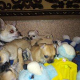 Собаки - Щенки разной окраски чихуахуа, 0