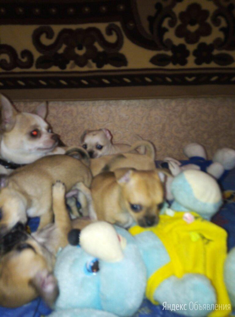 Щенки разной окраски чихуахуа по цене 15000₽ - Собаки, фото 0