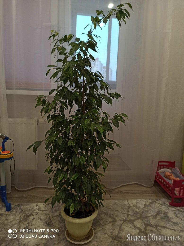 Фикус бенджамина по цене 2400₽ - Комнатные растения, фото 0