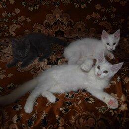 Кошки - Чистокровные котята Мейн-кун, 0