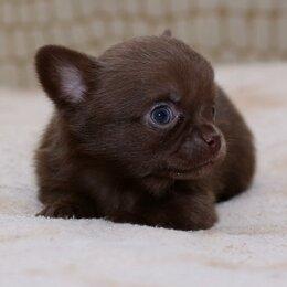 Собаки - Кукольный чихуа длинношерстный шоколад, 0