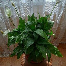 Комнатные растения - Спатифиллум -ЖЕНСКОЕ СЧАСТЬЕ, 0