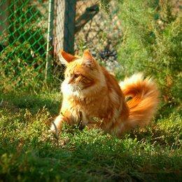 Кошки - Мейн кун  рыжая наглая морда, 0